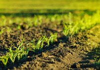 Young corn field in brown soil at sunset