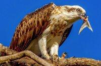 Aufgrund der oft extremen Umweltbedingungen Australiens stehen alle Tierarten untereinander in Konkurrenz, wenn es um Ernährung und Fortpflanzung geht und darum, nicht Fressfeinden, wie beispielsweise diesem Adler, zum Opfer zu fallen.