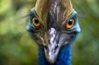 Im hohen Norden von Queensland ist der Regenwald die Heimat des Helmkasuars, eines Vogels, der ein Sprachkommunikationssystem nutzt, das schon von einigen Dinosauriern zur Partnersuche eingesetzt wurde.