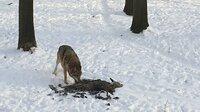 Wölfe sind zurück in Deutschland. Auch in hessischen Wäldern wurden Wölfe wieder gesichtet.
