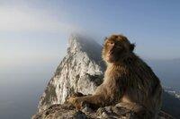 Die Berberaffen von Gibraltar sind Europas einzige frei lebende Affenart.