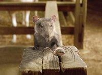 Charlotte kann von ihrem Netz aus die ganze Scheune beobachten. Wenn sie lustig ist, kommt sie auch einmal herunter, um unter anderem mit der Ratte Templeton einen kurzen Plausch zu halten.