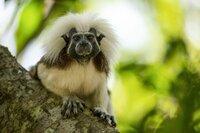 Ein Lisztaffe auf der Suche nach Insekten. Lisztaffen gehören zu den am meisten gefährdeten Affenarten der Welt. Nur noch wenige hundert Familien leben in Wäldern Nordkolumbiens.