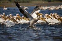 Die Pelikane im Donaudelta Rumäniens werden bis zu 15 Kilogramm schwer
