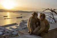 Berberaffen sind auf den Felsen von Gibraltar heimisch.