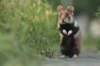 Hamster waren in den Wiesen heimisch, bevor es die Stadt Wien gab. Nun haben sie sich ihre Nische auf den Friedhöfen gesucht.