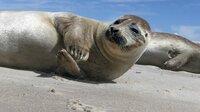 Auf einsamen Sandinseln im dänischen Kattegat bekommen die Seehunde ihre Jungen.