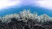 """ARD/WDR ERLEBNIS ERDE, """"Der Blaue Planet - Faszination Korallenriff"""", Ein Film von Jonathan Smith, am Montag (05.03.18) um 20:15 Uhr im ERSTEN. Korallenpolypen leben mit Algen als """"Untermietern"""" zusammen, die sie mit Nahrung versorgen. Steigen die durchschnittlichen Wassertemperaturen nur geringfügig an, stoßen die Polypen in einer Panikreaktion ihre Untermieter aus, sie verlieren ihre Farbe und Hauptnahrungsquelle – und sterben ab. © WDR/BBC NHU/Christophe Bail, honorarfrei - Verwendung gemäß der AGB im engen inhaltlichen, redaktionellen Zusammenhang mit genannter WDR-Sendung bei Nennung """"Bild: WDR/BBC NHU/Christophe Bail"""" (S2+). WDR Presse und Information/Redaktion Bild, Köln, Tel: 0221/220 -7132 oder -7133, Fax: -777132, bildredaktion@wdr.de"""