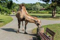 Ein Kamel ist aus dem Zoo ausgebrochen und erkundet nun den nahegelegenen öffentlichen Park.