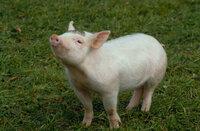 Nachdem das kleine Schweinchen Babe seine Eltern durch den Schlachter verloren hat, landet es auf dem Bauernhof von Arthur Hoggett und dessen Frau Esme ...