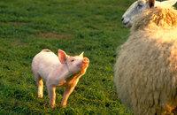 """""""Mäh, ihr Schafe!"""" Babe macht sich als Schäferschwein gar nicht so schlecht ..."""