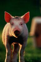Macht sein Hobby zum Beruf: Schweinchen Babe wird Schäferschwein ...