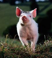 Durch seine herzensgute und freundliche Art, gewinnt Babe schon bald den Respekt der Schafherde ...