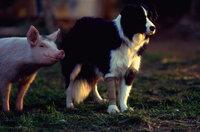 """Babe (l.) will """"Schäferschwein"""" werden, seine Adoptivmutter Schäferhündin Fly (r.) hilft ihm dabei ..."""