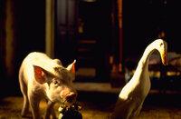 Enterich Ferdinand möchte seinem Schicksal als Weihnachtsbraten entgehen und die Rolle des Weckenterichs übernehmen, um auf der Farm untentbehrlich zu sein. Babe hilft ihm dabei, Hoggetts Wecker zu stehlen ...