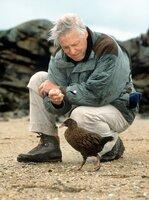 David Attenborough trifft in Neuseeland auf eine Wekaralle. Wekarallen sind im Laufe der Zeit flugunfähig geworden, haben keine natürlichen Feinde und verhalten sich deshalb auch Menschen gegenüber noch äußerst zutraulich