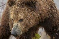Braunbären haben sich an die rauen Bedingungen Kamtschatkas angepasst.