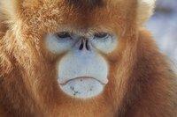Goldstumpfnasenaffen sind vom Aussterben bedroht.