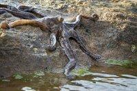Dieser Oktopus lebt an der Küste von Nordaustralien und ist die einzige Tintenfisch-Art, die sich auch an Land fortbewegen kann. Die Art wurde erst 2011 entdeckt und erhielt bisher keinen wissenschaftlichen Namen. Weitere Fotos erhalten Sie auf Anfrage.