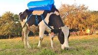 Kühe in Argentinien