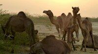 Eine NGO lädt einmal im Jahr zum Kamelfest: Wettscheren, Wettmelken, Prämie für das schönste Kamel.