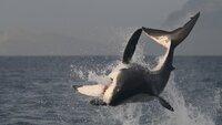 Großer, weißer Hai vor der Küste Südafrikas, False Bay.