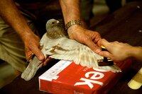 """Eine Brieftaube wird für das größte und bekannteste Brieftaubenrennen der Welt gestempelt. 4000 Vögel aus 25 Ländern bestreiten diese """"Brieftaubenweltmeisterschaft"""", das """"South African Million Dollar Pigeon Race""""."""