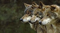 Ein Rudel iberischer Wölfe ist in der unzugänglichen Bergwelt Nordportugals auf der Jagd.
