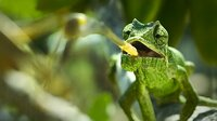Die Augen des europäischen Chamäleons arbeiten wie Miniteleskope, seine Zunge wie ein Katapult.