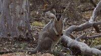 Bis heute wissen Forscher wenig über die Gewohnheiten des Westliche Irmawallabys in Australien.