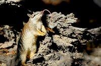Ein Numbat zeigt Zunge: Das kleine Beuteltier ernährt sich ausschließlich von Termiten, die es mit seiner langen, klebrigen Zunge fängt.