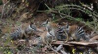 Sobald sie ausgewachsen sind, leben Numbats als Einzelgänger. Die jungen Geschwister genießen noch das gemeinsame Sonnenbad.