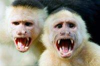 Kapuzineraffen atmen während der Trockenperiode ab und zu mit offenem Mund, denn auf diese Weise sinkt ihre Körpertemperatur.