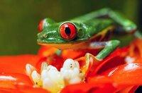 In den tropischen Regenwäldern von Costa Rica leben 38 verschiedene Laubfroscharten.