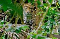 Der Jaguar frisst Pflanzenfresser, die in zu großer Anzahl eine Gefahr für den Wald wären. Folglich ist er unentbehrlich, denn er sorgt für Stabilität im Ökosystem.