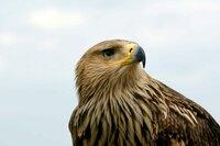Der Kaiseradler kann ein Gewicht von bis zu vier Kilogramm erreichen.
