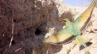 Ein Zwergspint fliegt seine Bruthöhle an. Wie bei unserem Kuckuck, so können auch in seinem Nest Brutparasiten, Honiganzeiger, ein Ei gelegt haben. Das Honiganzeigerküken tötet alle Nachkommen des Zwergspints und wird als Einziger vom Wirt großgezogen.