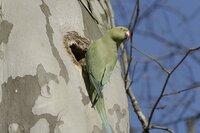 Das Weibchen des Halsbandsittichs inspiziert die Baumhöhle einer Platane im Stadtpark.