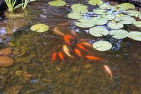 Water lilies float on top of a small outdoor water pond with gold fish below and evening sun.
