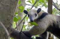 Lange galt es unter Tropenbiologen als unmöglich, einmal abgeholzte Wälder zurückzubringen. Trotzdem begannen Naturschützer in Costa Rica mit ihrer Mission Tropenwald. Der Tamandua, ein Ameisenbär, ist ein Bewohner der wieder aufgeforsteten Wälder.