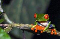 Costa Rica ist berühmt für Nationalparks und Tropenwälder voller seltener Tiere. Der Rotaugenlaubfrosch ist Costa Ricas geheimes Wappentier.