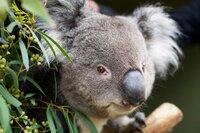 Auch dieser Koala hat sich im Sanctuary eingerichtet