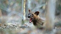 Ein junges Fossamännchen wartet unter einem Paarungsbaum auf ein Weibchen.