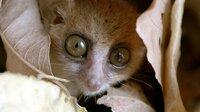 Mausmakis sind die kleinsten aller Lemuren. Den Tag verbringen sie geschützt in einer Baumhöhle.