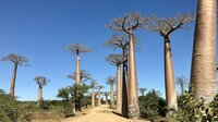 """In der Nähe der Stadt Morondava liegt die berühmte Alle der Baobabs. Ein """"Must See"""" für jeden Touristen"""