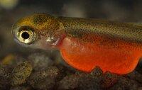 Von allen Lachssorten ist der Rotlachs der wertvollste Fisch seiner Gattung.