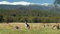 Östliche graue Kängurus vor verschneiten Gipfeln.