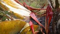 Die Rinde des Eukalyptusbaumes - Snow Gum - färbt sich bei Kälte rot.
