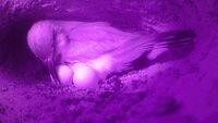 Brütender Zwergspint in seiner Bruthöhle, in der Savanne Sambias.