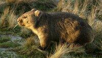 Ein Wombat, ein kleiner bärenartiger Beutelsäuger.
